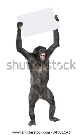 stock-photo-monkey-holding-a-empty-banner-and-screaming-mixed-breed-between-chimpanzee-and-bonobo-years-34301146.jpg