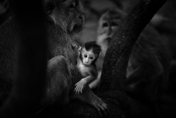 Monkey in Bali forest, protected by his mother. Black and white photography