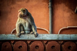 monkey in pink city destination in jaipur