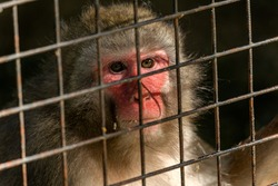 Monkey in the cage is enclosed in a zoo and sadly and aggressively looks through the bars to find freedom. Animals suffer in the cells of the zoo. Concept of protecting animals from captivity