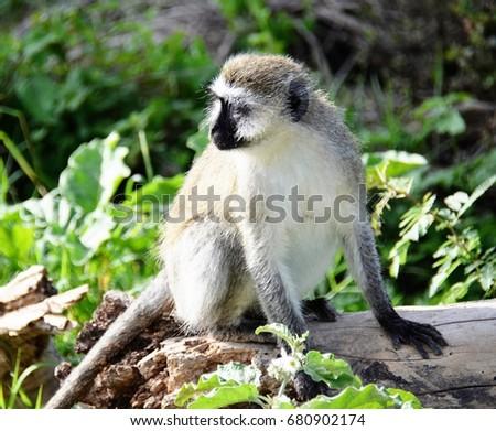 Monkey isolated #680902174