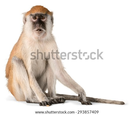 Monkey, Isolated, Animal. - Shutterstock ID 293857409