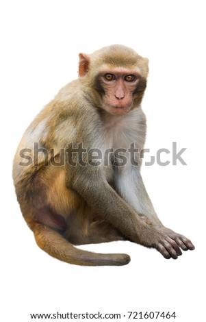 monkey isolated on a white background