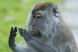 monkey looking at or counting its fingers
