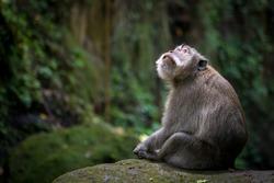 Monkey looking up sitting on mossy rock at monkey forest - Ubud, Bali, Indonesia