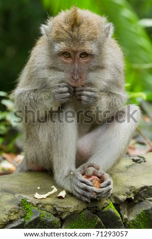 Monkey (Macaca fascicularis) at  Dalem Agung Padangtegal temple in Sacred Monkey Forest, Ubud,  Bali Indonesia