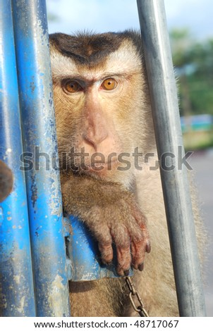 Monkey Macaque Coconut See - stock photo