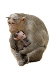 Monkey Macaque Family on the street of Indian town
