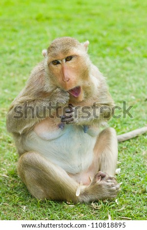 Monkey (Macaque rhesus) in Thailand - stock photo