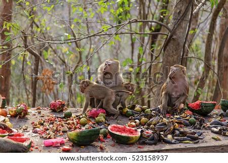 monkey/monkey family/monkey eating watermelon/monkey forest in thailand #523158937