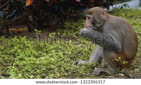 Monkey. Monkey macaque in the rain forest. Monkeys in the natural environment. China, Hainan #1323306317