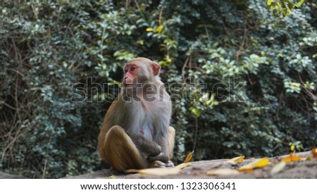 Monkey. Monkey macaque in the rain forest. Monkeys in the natural environment. China, Hainan #1323306341