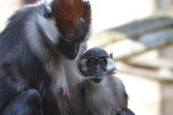 Monkey Mum and Baby Feeding