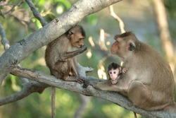 Monkey mum sitting on mangrove branch and looking at her older child who is eating some food. Her cute newborn baby with big innocent eyes is in mommy arms. It clinging to his mom. Maternal bonds!