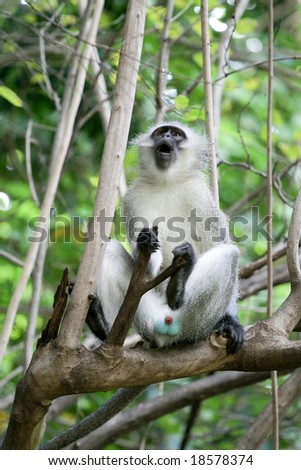 Monkey on a branch showing of his genitals and having a good scream