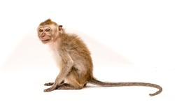Monkey on a white background. Macaque isolated for design. The primate sits and looks. Grinning teeth and look to the side.