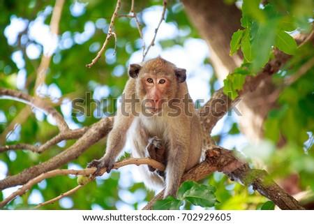 Monkey on the tree ,Monkey Climbing Tree #702929605