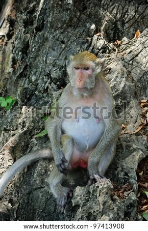 Monkey on the tree,Thailand.