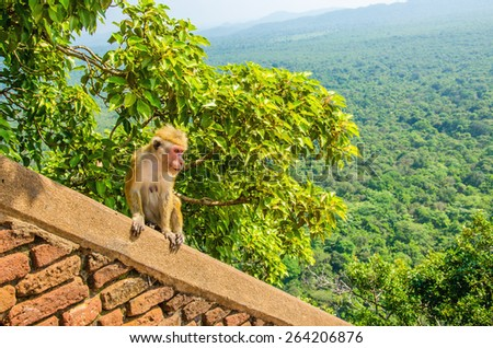 Monkey on the wall of Sigiriya, an ancient palace located in Sri Laka,\ Asia
