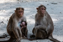 Monkey Parents, Monkey cub with his mother and father at natural habitat lives together