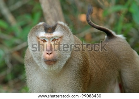 Monkey (Pig-tailed macaque)