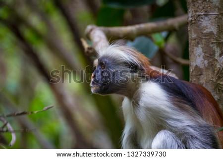 Monkey Red Colobus close-up in trees  in a natural environment. Jozani Chwaka Bay National Park. Zanzibar. Africa