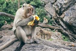 Monkey sits on a rock and eats banana