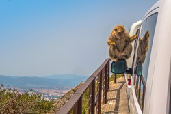 Monkey sitting on car mirror in Gibraltar looking at his reflection. Royalty free stock photo.