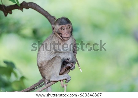 Monkey Sitting On The Branch,Khao Nor In Nakhon Sawan Province Of Thailand. #663346867