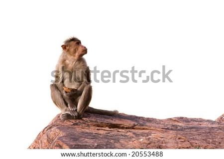 Monkey sitting on the rock, isolated over white background