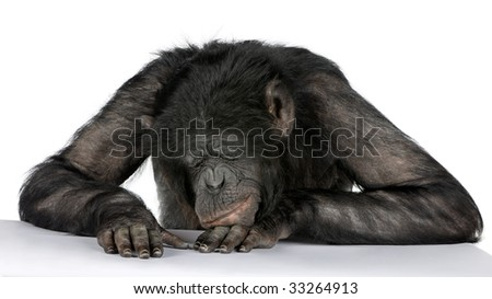 monkey sleeping on his desk Mixed-Breed between Chimpanzee and Bonobo (20 years old) in front of a white background