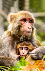 Monkey with baby portrait. Cute monkey with cub. Monkey mother love