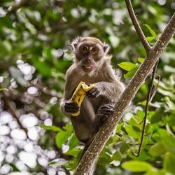 Monkey with banana (macaque) Thailand.