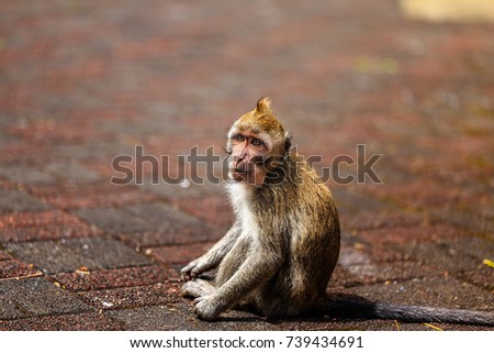 Monkey with Epic mohawk. The crab-eating macaque in mauritius island.