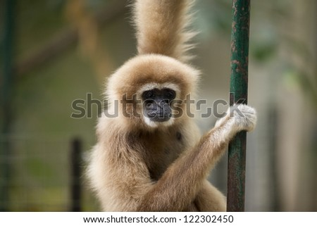 Monkey with pretty face looks sad as it hangs by a steel pole in a zoo.