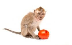 Monkey with tomato on a white background. Macaque isolated for design. The primate sits and looks. The concept of diet and vegetarian.