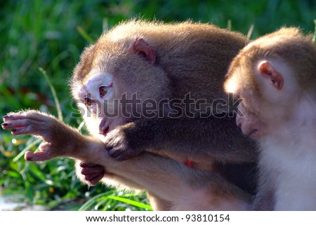 Monkeys help each other getting rid of fleas - stock photo