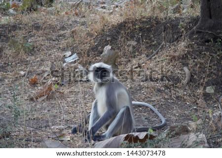 Monkeys in Sasan Gir National Forest