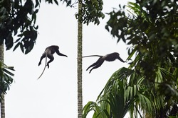 Monkeys jumping and flying from palmtree to palmtree