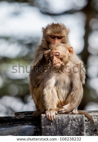 Monkeys look after one after another