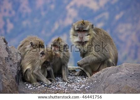 Monkeys on Lombok Island, Indonesia