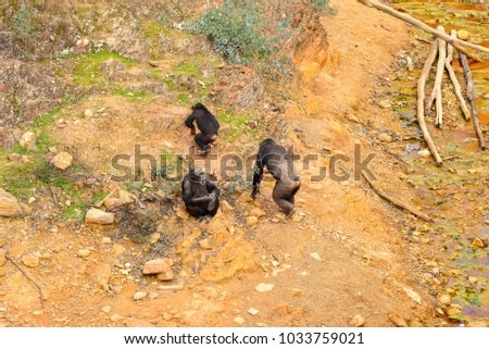 monkeys or chimpanzees crossing red river