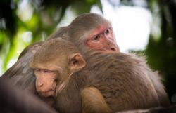 Monkeys  seen together getting cozy on a cold winter day