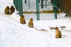 Monkeys sit in the snow on a frosty day, out of focus