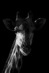 Mono close-up of giraffe with black background