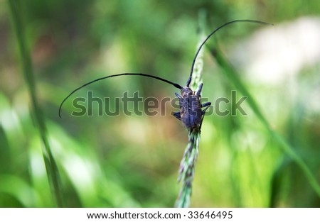Monochamus sutor - a long-horned forest capricorn beetle sits on a blade with full-scale antennae, green blur background