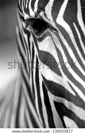 Monochromatic image of a the face of a Grevy's zebra close up. Vertically.