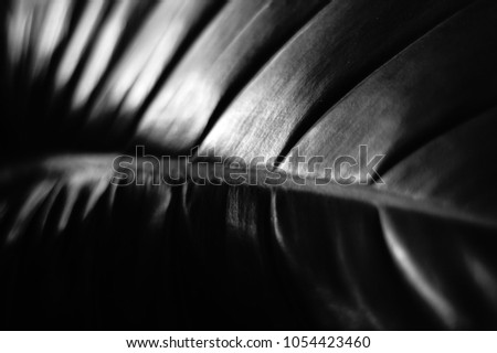 Monochrome Big plant leaf close up, soft focus.