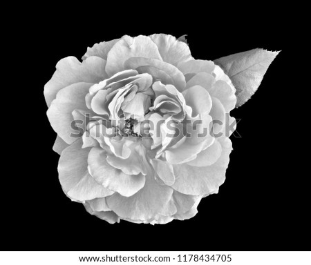 Monochrome black and white fine art still life bright floral macro flower portrait of a single isolated wide open rose blossom and a leaf, black background,detailed texture,vintage painting style