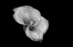 monochrome calla blossom on black background, top view fine art still life macro of a single detailed textured bloom in graphical painting style